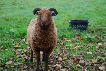 Rere Breed Sheep